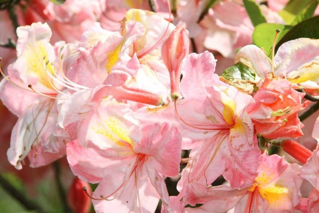 0291_19 Mai 2012_Rhododendron_Blüte