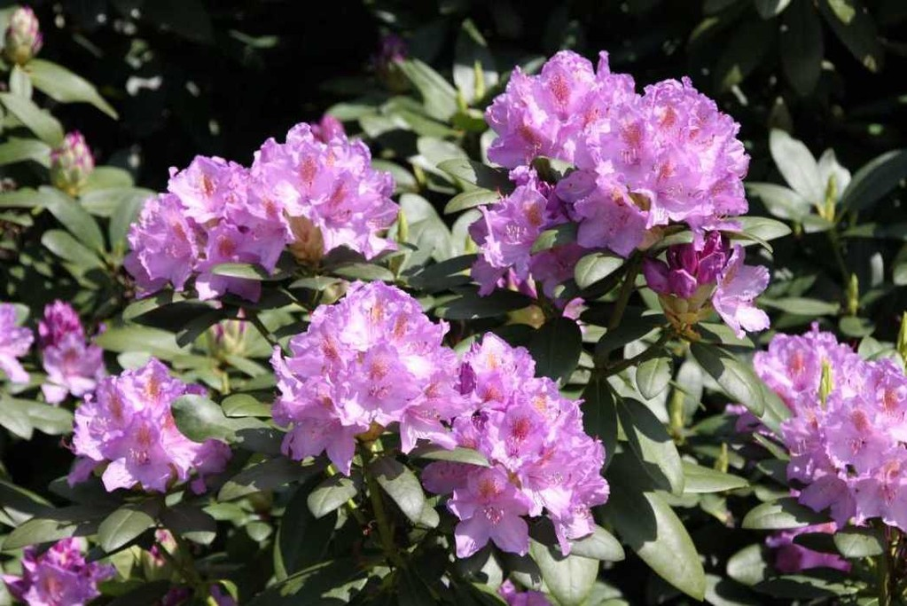 0206_19 Mai 2012_Rhododendron_Blüte