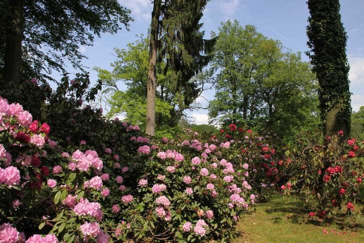 0273_19 Mai 2012_Rhododendron_Blüte