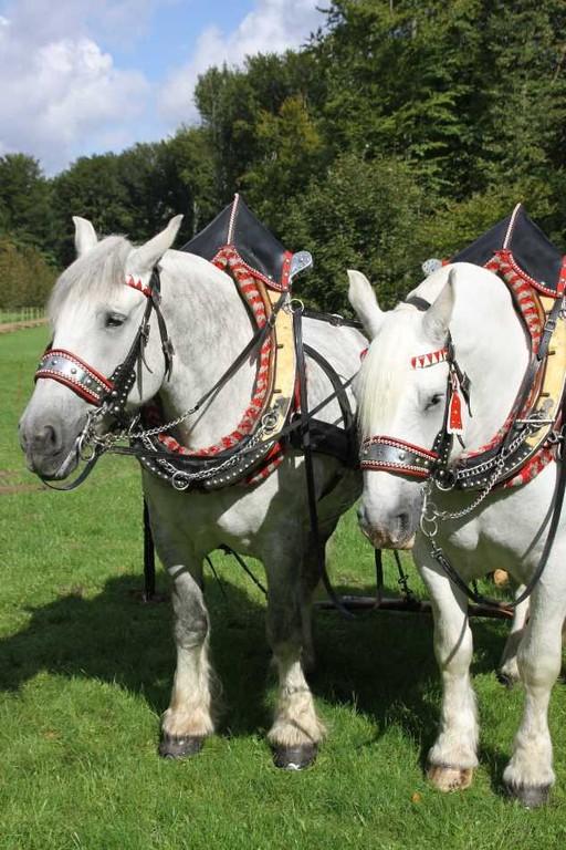 162_0156_17 Sept 2010_Gartenfest_Percheron-Pferde