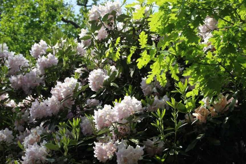 0228_19 Mai 2012_Rhododendron_Blüte