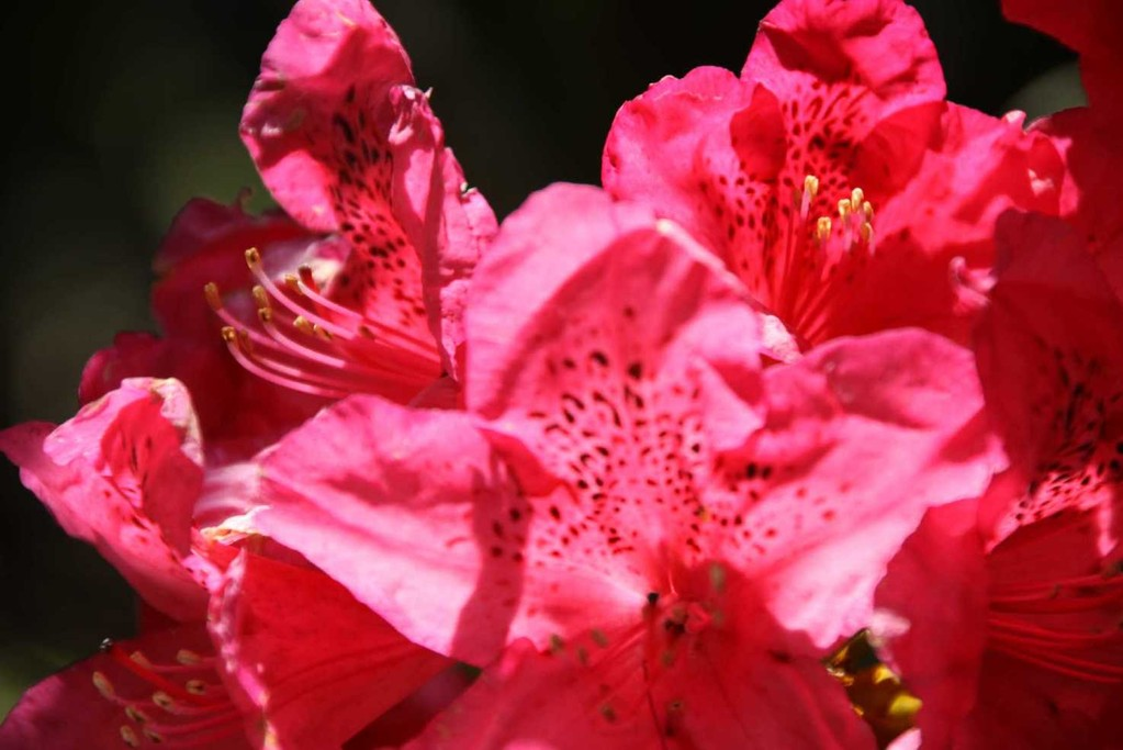 0211_19 Mai 2012_Rhododendron_Blüte