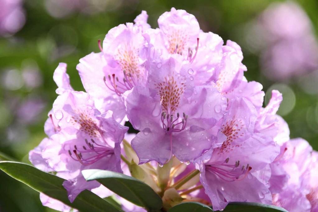 0029_19 Mai 2012_Rhododendron_Blüte_Regentropfen