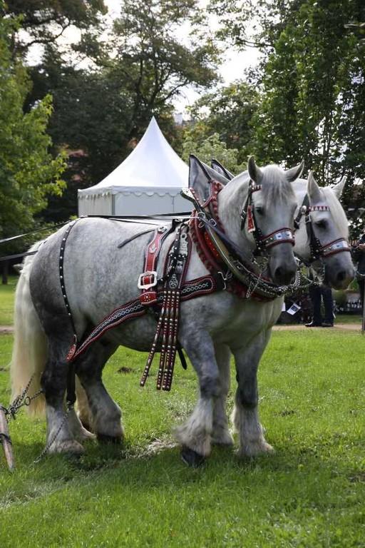 146_0123_17 Sept 2010_Gartenfest_Percheron-Pferde