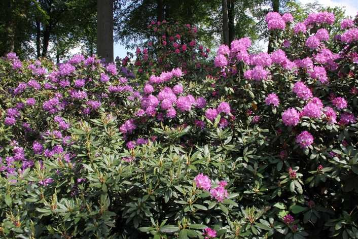 0229_19 Mai 2012_Rhododendron_Blüte