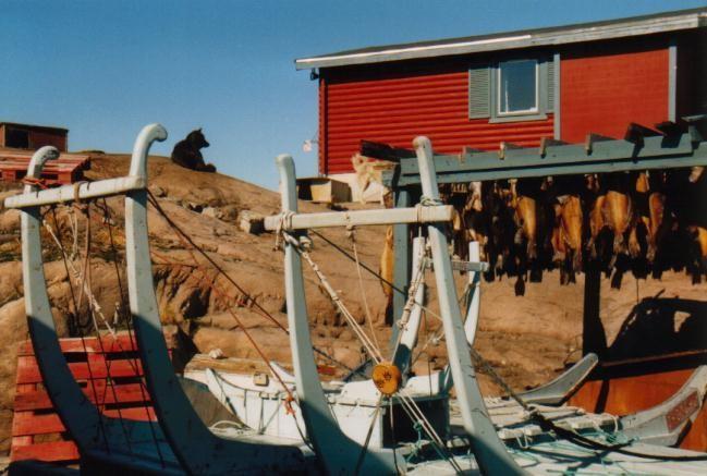 Hunde, Schlitten & Stockfisch in Ilulissat / Grönland