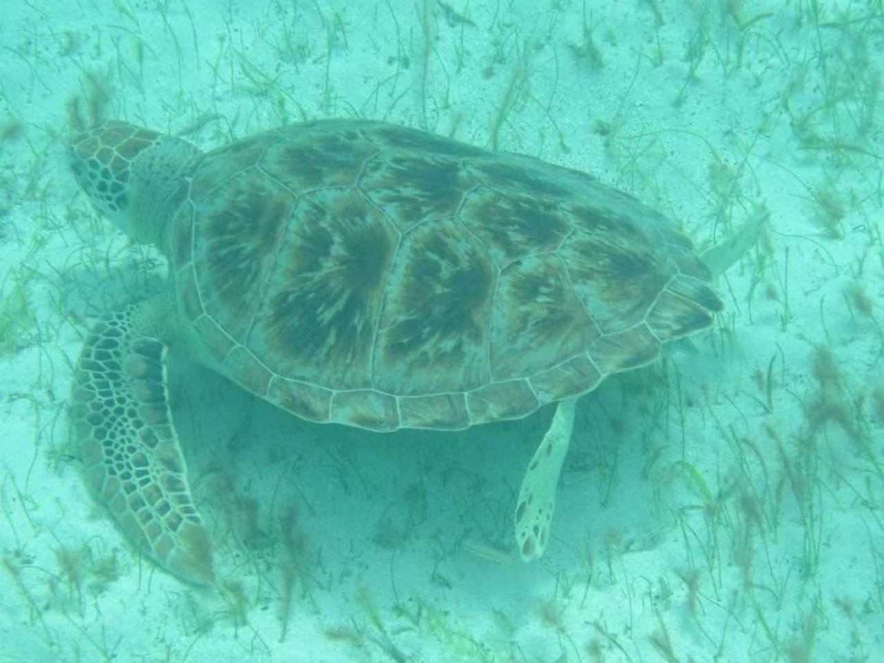 3225_03 DEZ 2013_Tobago Cays_Schildkröte