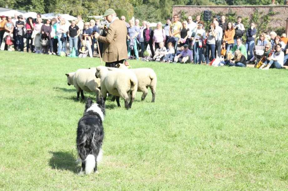 0133_22 Sept 2013_Gartenfest_Bordercollies & Heidschnucken