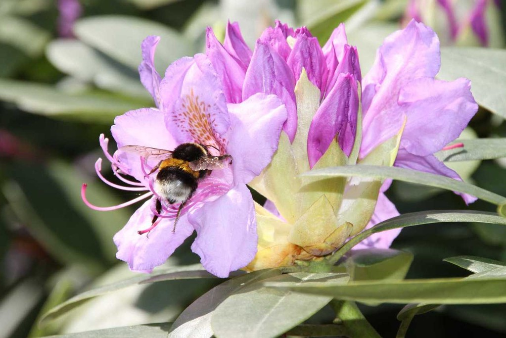 0022_19 Mai 2012_Rhododendron_Blüte_Hummel