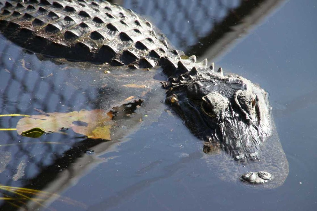 1672_14 Juni 2010_Everglades_Airboat Ride_Alligator