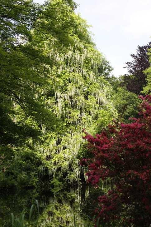 0100_19 Mai 2012_Rhododendron_Schlosspark_Teich