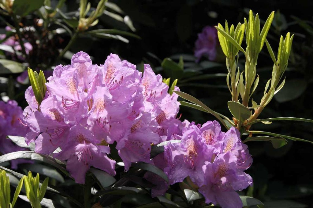 0032_19 Mai 2012_Rhododendron_Blüte