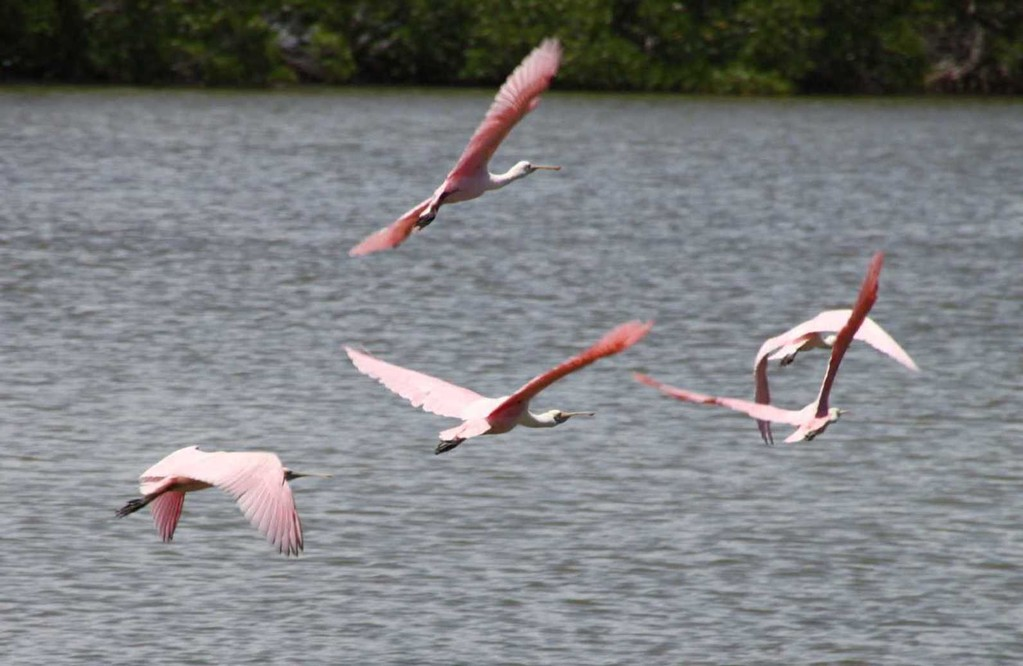 1793a_14 Juni 2010_Everglades_City_Bootstour_Roseate Spoonbill