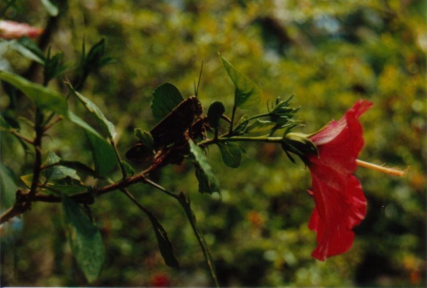 Hibiskus mit Heuschrecke