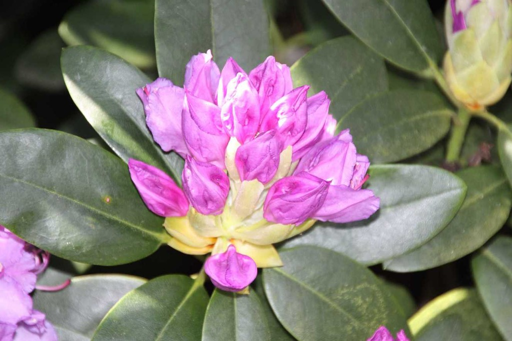 0019_19 Mai 2012_Rhododendron_Blüte
