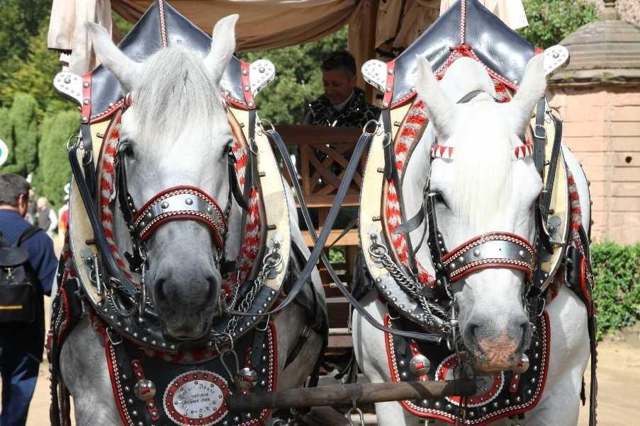 174_0286_17 Sept 2010_Gartenfest_Percheron-Pferde