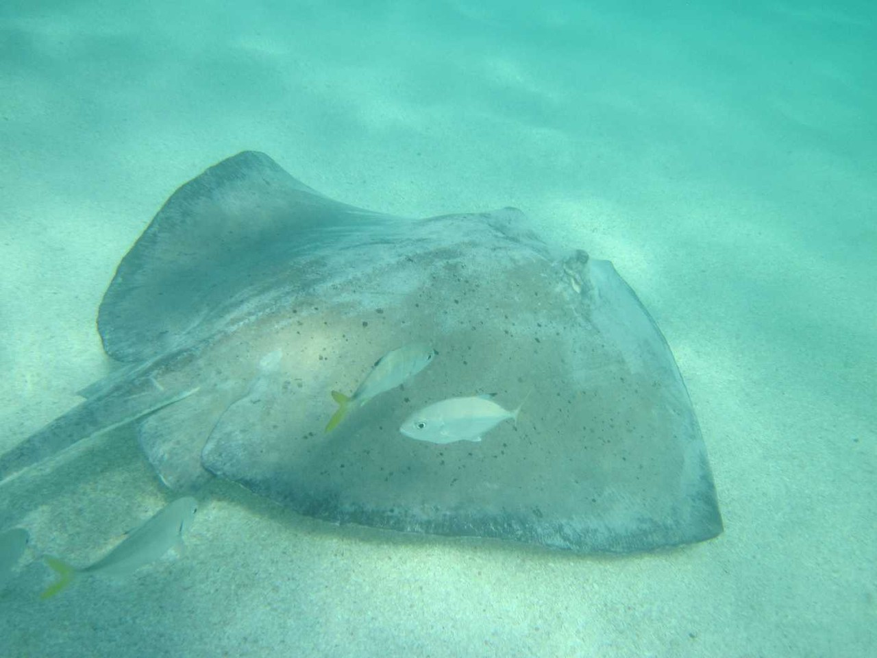1276_26 NOV 2013_Antigua_Stingray City