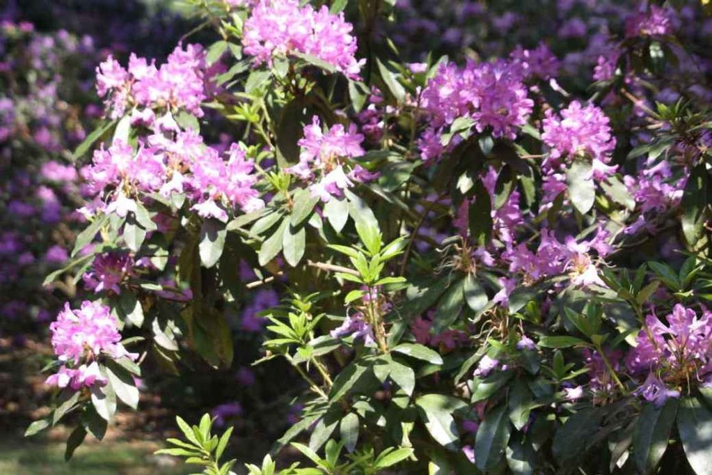 0064_21 Mai 2011_Rhododendronblüte