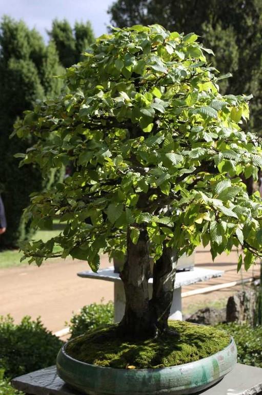 088_0246_17 Sept 2010_Gartenfest_Aussteller_Bonsai