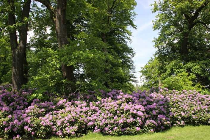 0205_19 Mai 2012_Rhododendron_Blüte