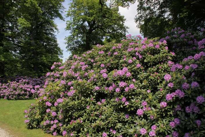 0209_19 Mai 2012_Rhododendron_Blüte