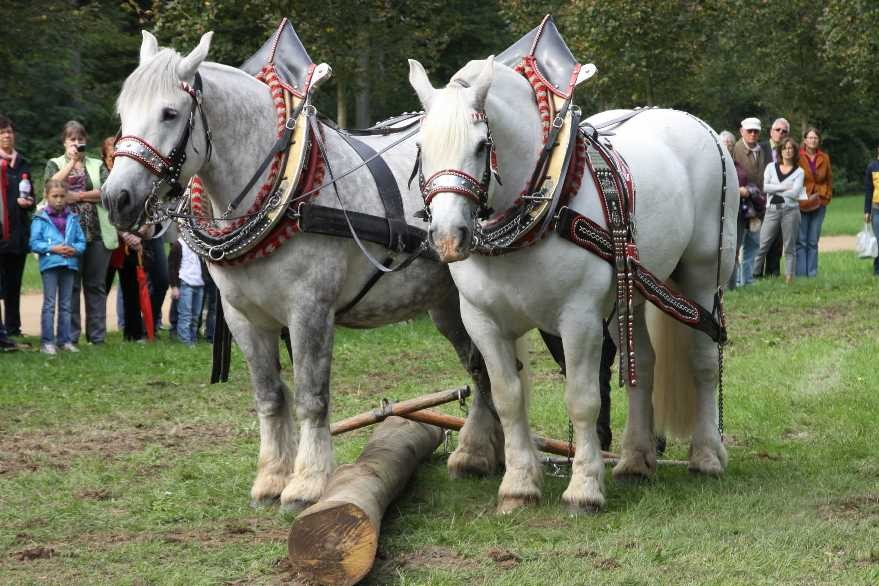 214_0756_19 Sept 2010_Gartenfest_Percheron-Pferde