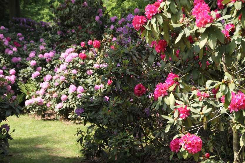 0267_19 Mai 2012_Rhododendron_Blüte