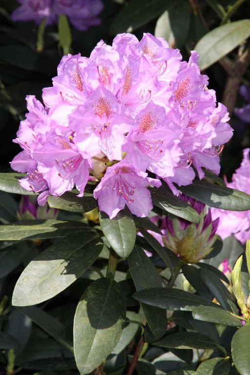 0017_19 Mai 2012_Rhododendron_Blüte