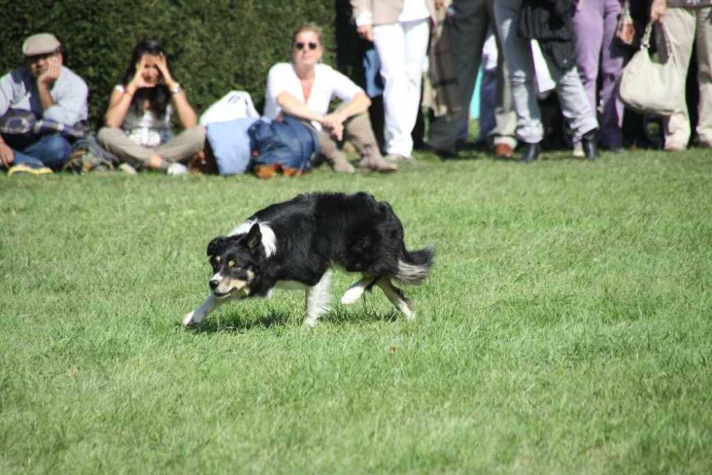 0106_22 Sept 2013_Gartenfest_Bordercollies & Heidschnucken
