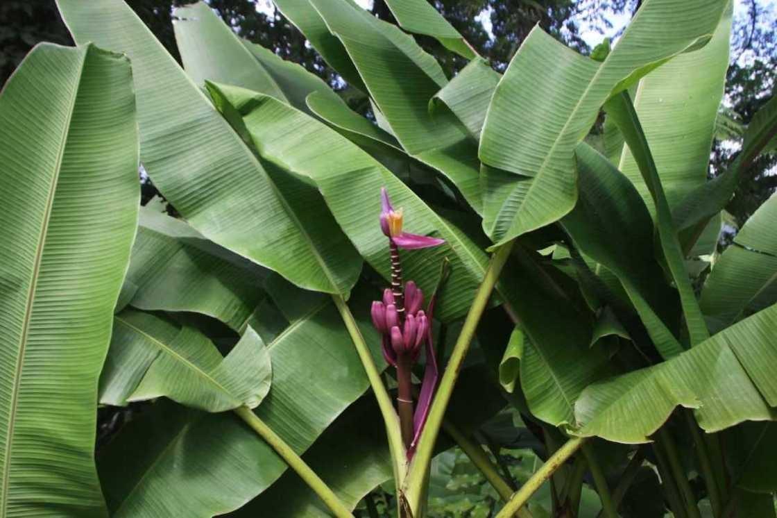 4030_05 DEZ 2013_Martinique_Jardin de Balata_Zier-Banane