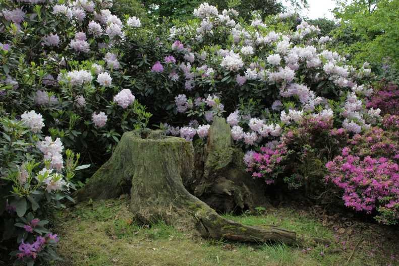 0052_19 Mai 2012_Rhododendron_Blüte_Baumstamm