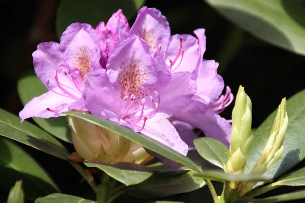0254_19 Mai 2012_Rhododendron_Blüte