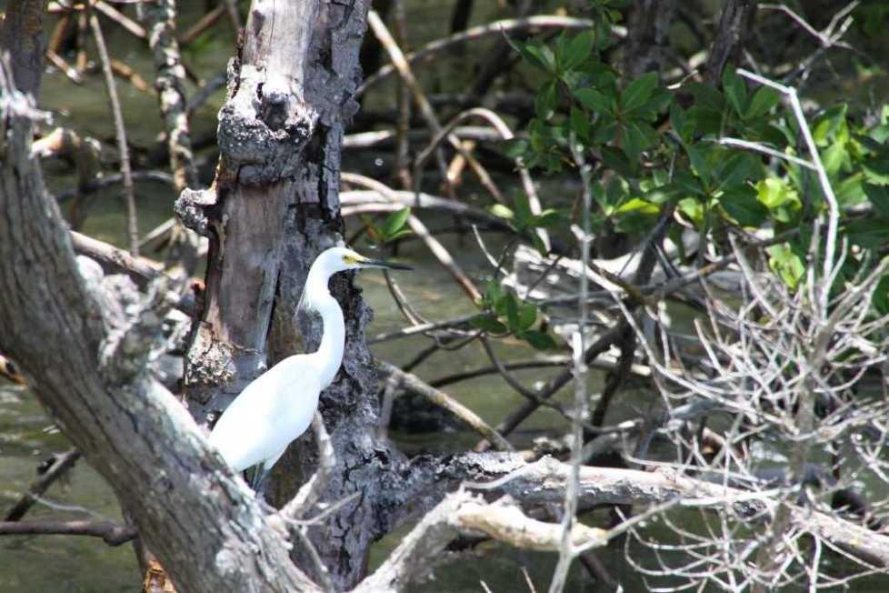 1802_14 Juni 2010_Everglades_City_Bootstour_Snowy Egret