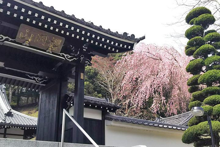 しだれ桜(本山玉澤妙法華寺)