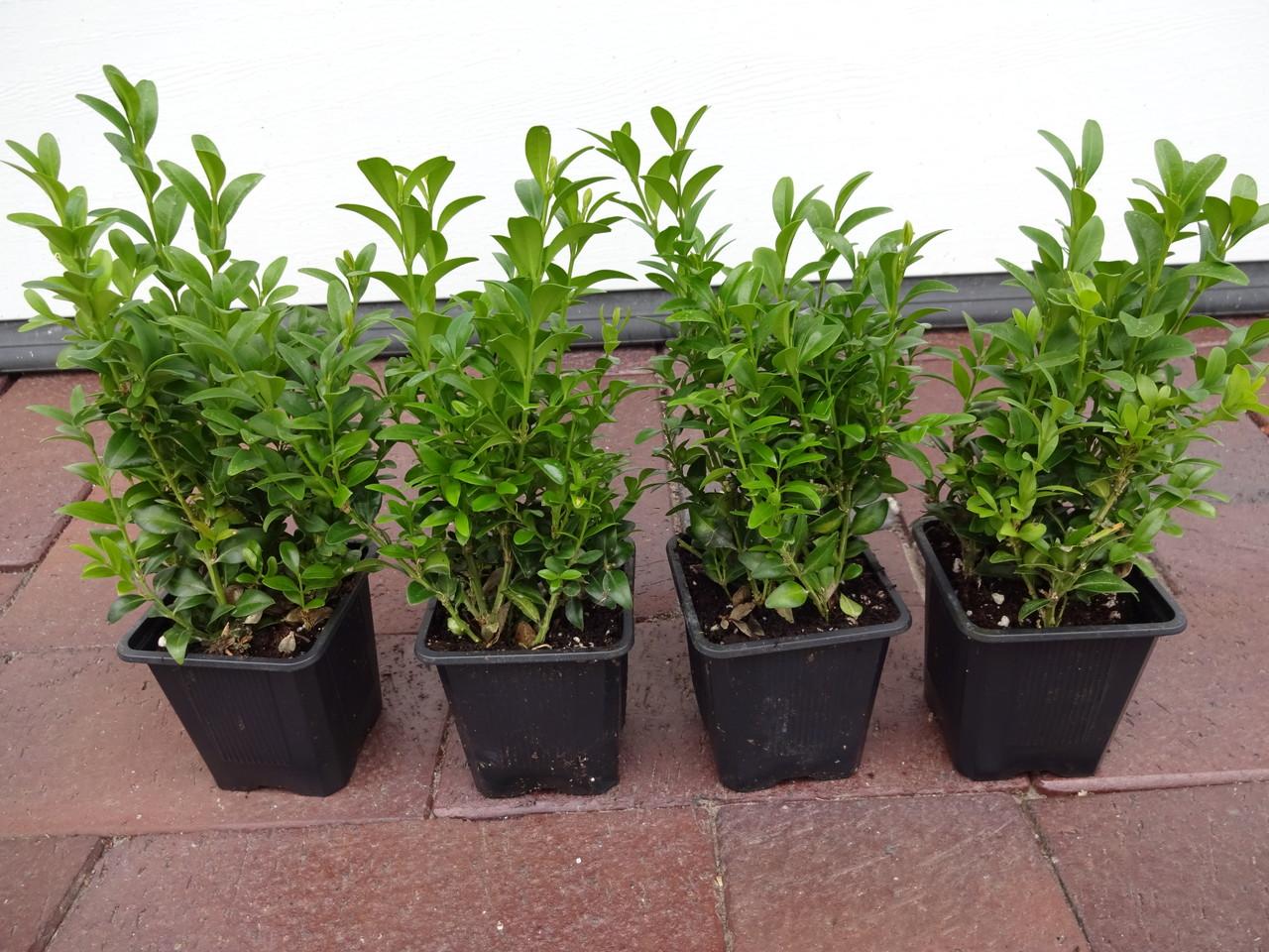 buchsbaum als beeteinfassung pflanzen online kaufen auf. Black Bedroom Furniture Sets. Home Design Ideas