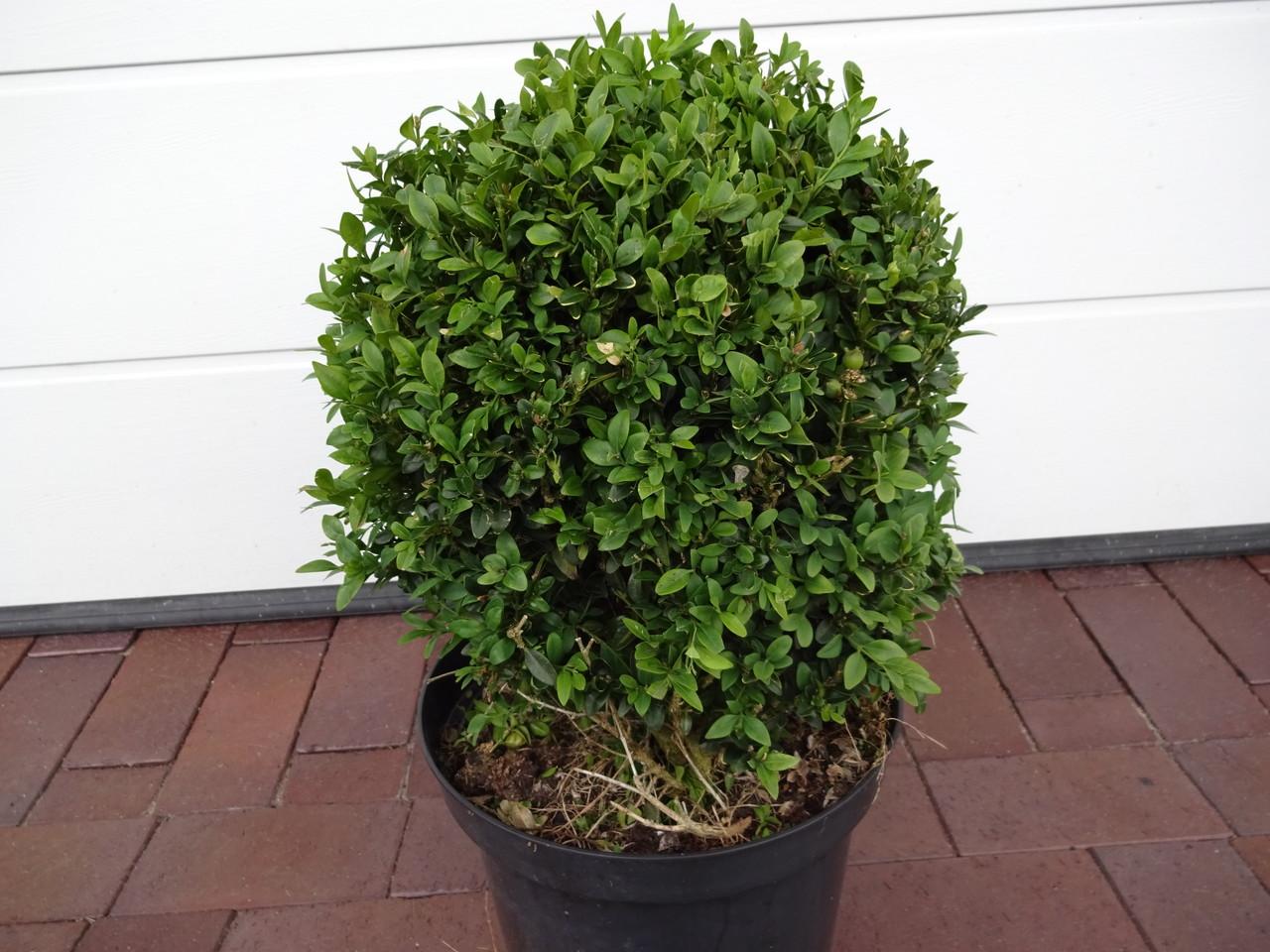 Buchsbaum als Beeteinfassung pflanzen online kaufen auf
