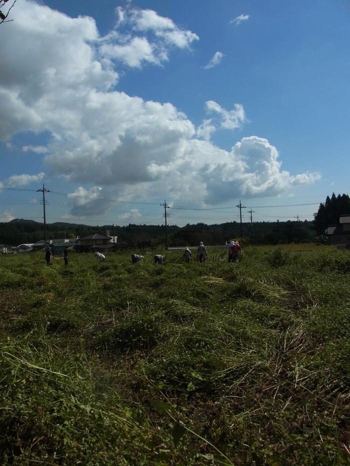 花蕎麦手刈り風景