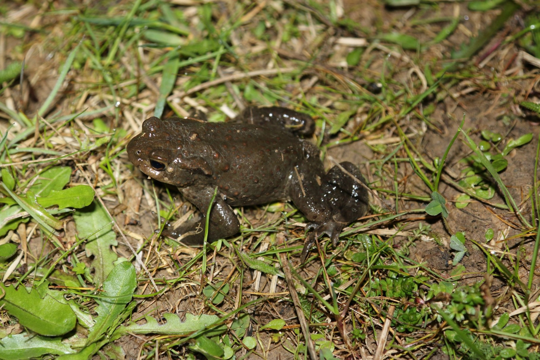 Bei den Erdkröten gibt es auch farbliche Ausreißer