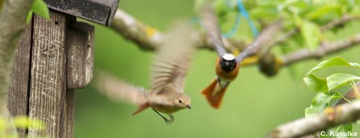 Vogel des Jahres 2011 - der Gartenrotschwanz