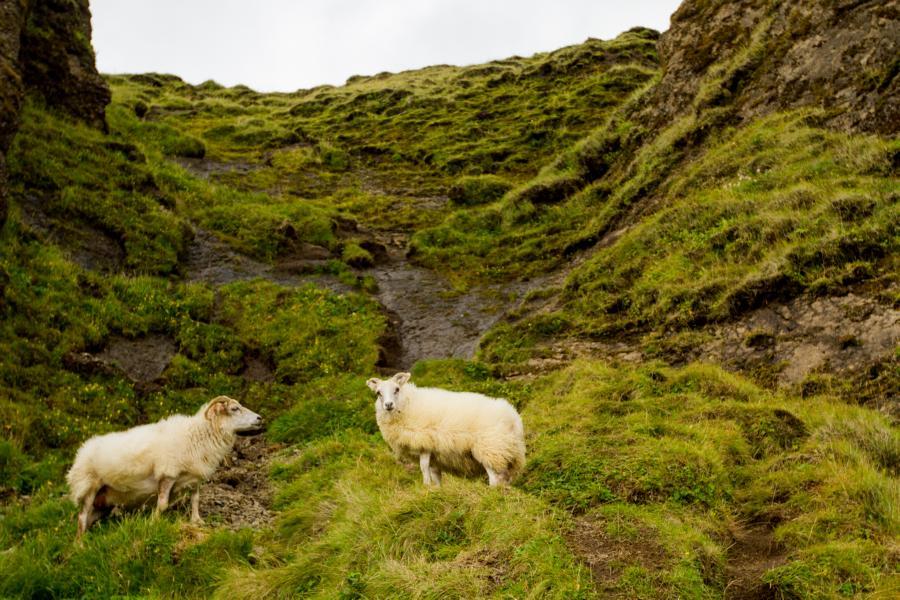 Schafe, überall Schafe