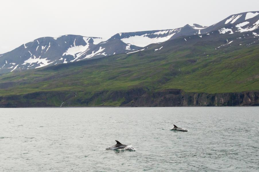 Weißschnauzendelfine