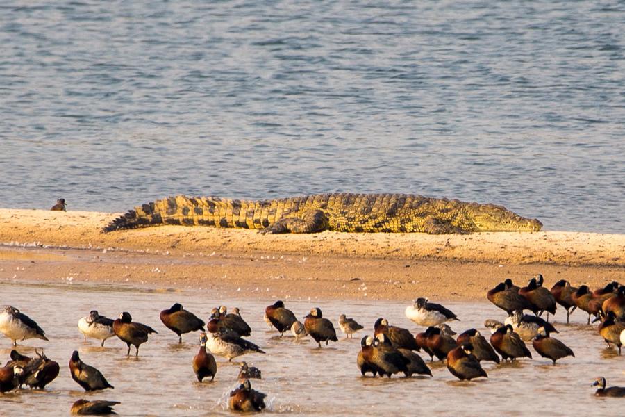 Krokodil im Sambesi