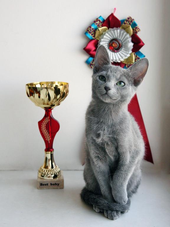 Фортуна Grey Silk. Лучший Бэби выставки 2012 год