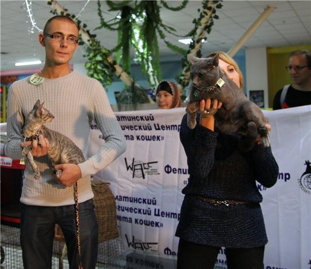 Святич Grey Silk. Лучший Короткошерстный кот Алматы