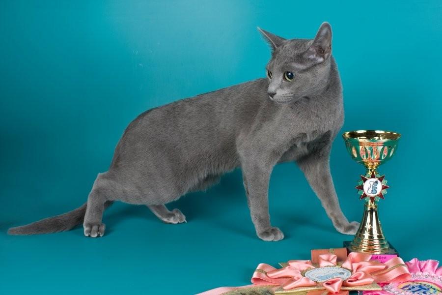 Фортуна Grey Silk. Лучшая короткошерстная легкая 2012