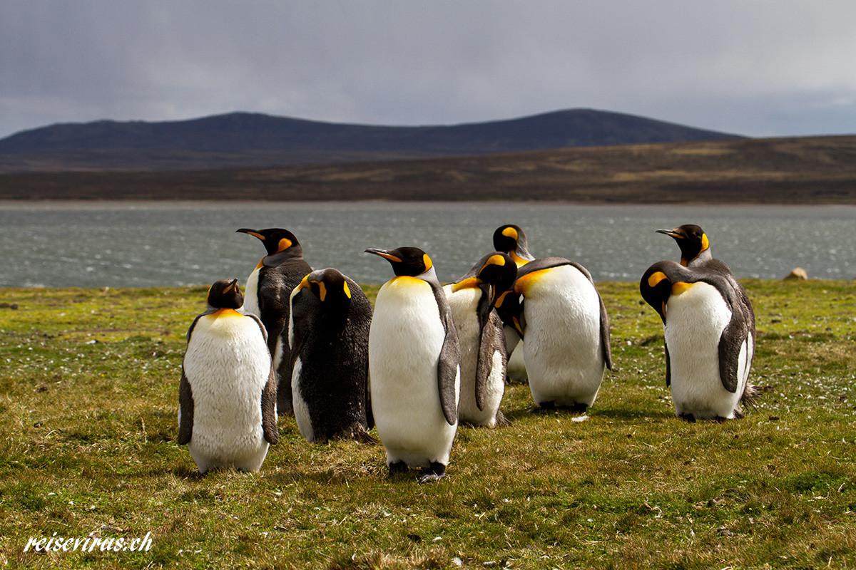 Königspinguine auf den Falkland Inseln, 2012