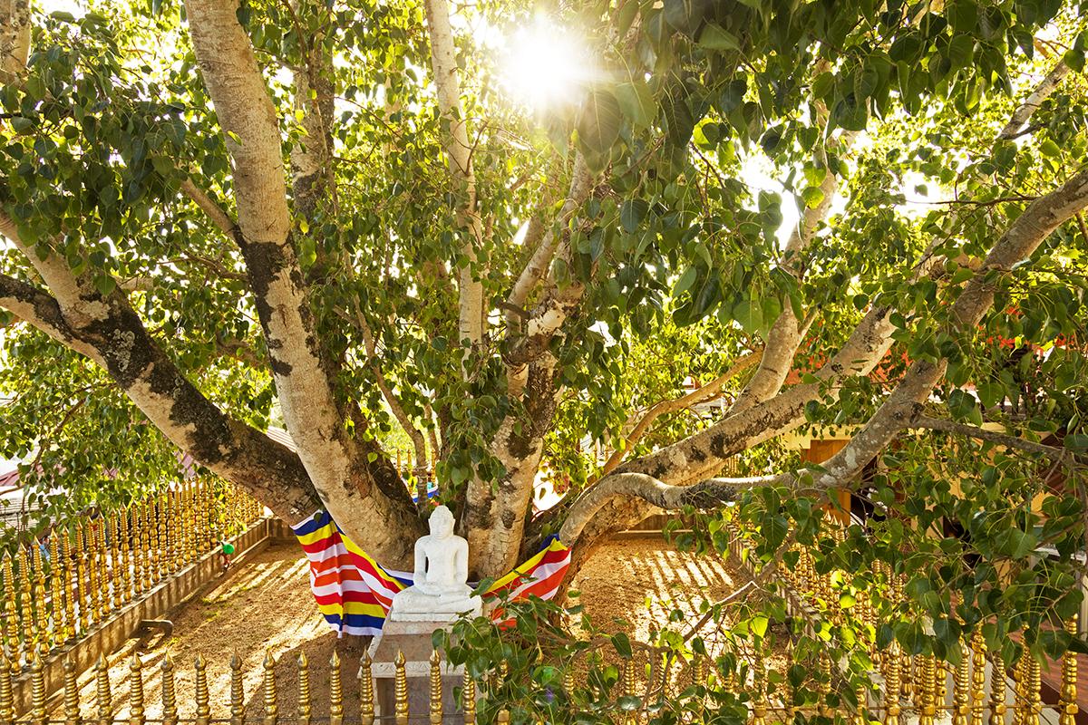 Heiliger Bodhi Baum im Tempel Bahirawakanda, Kandy
