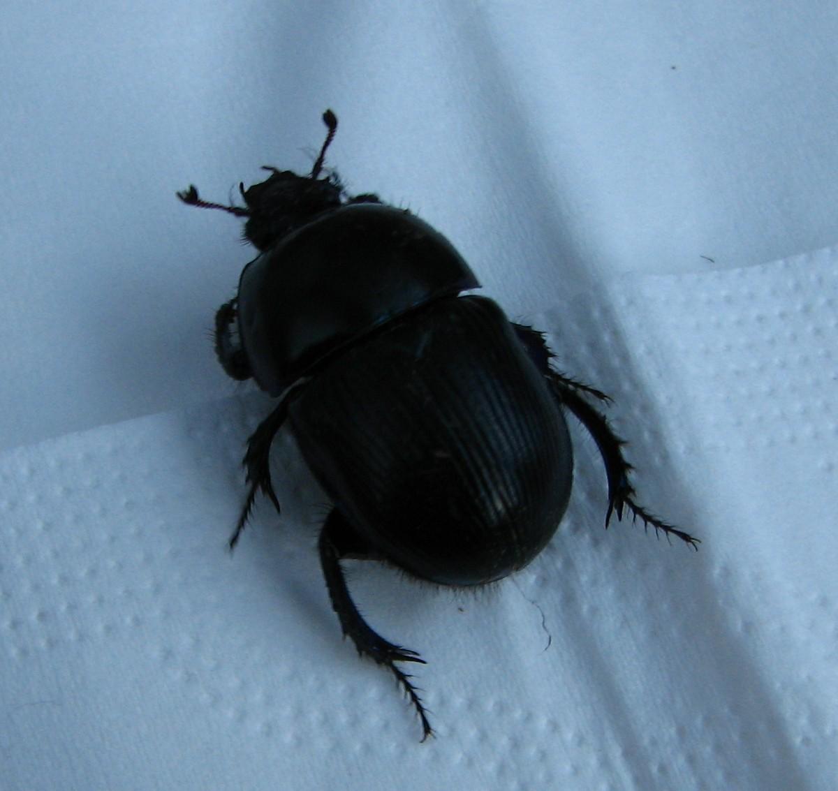 Der erwachte Käfer 1