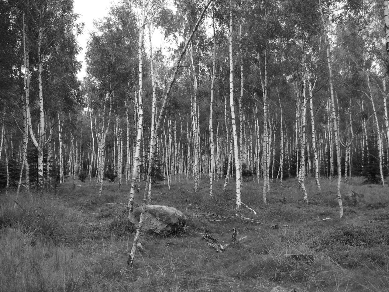 Birkenwald 1