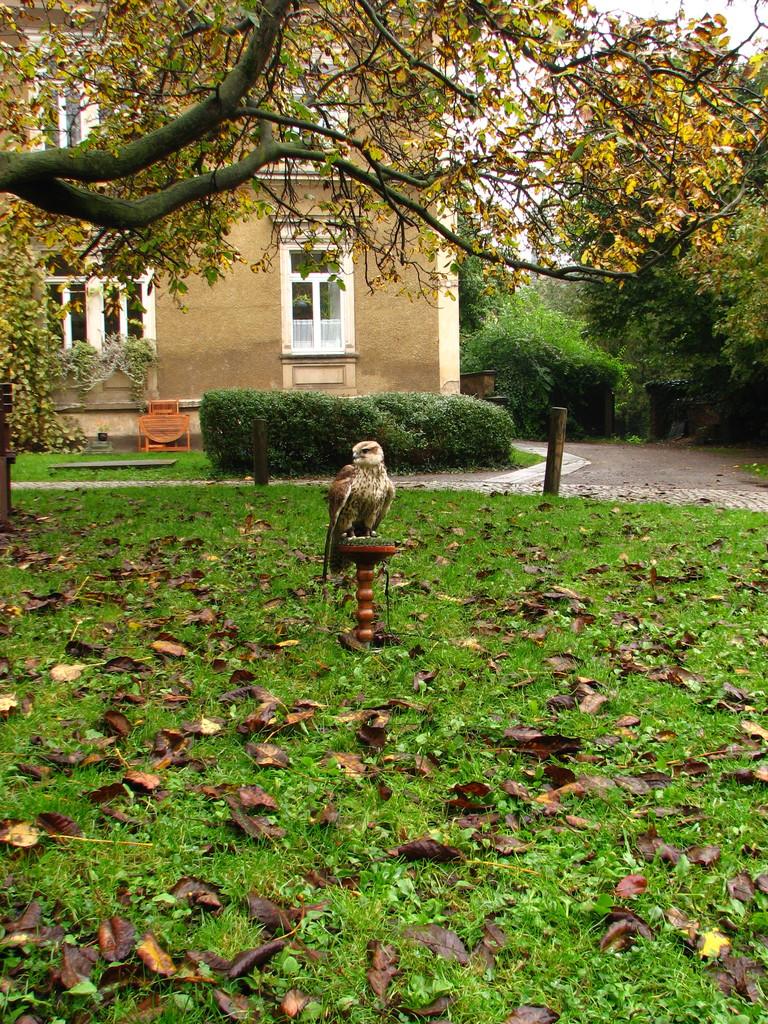Der Falke auf dem Hof
